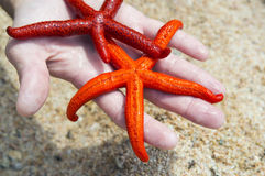 Starfish on a beach. Two starfish on a palm on a beach Stock Photo