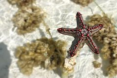 Starfish. At the beach of Zanzibar Royalty Free Stock Image