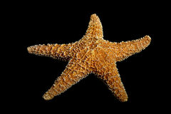 Starfish on black. Echinoderm or starfish on black Royalty Free Stock Photo