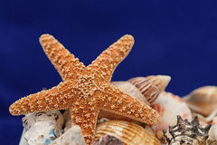 Starfish on blue. Starfish and shells on blue back Stock Photos
