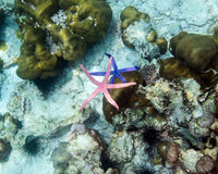 Starfish blue pink color on hand in andaman sea ,small animal fr Royalty Free Stock Photos