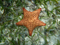 Starfish in blue water caribbean island, Panama. Central America Stock Photo
