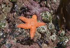 Starfish in Cannon Beach, Or. Stock Photos