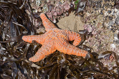 Starfish in Cannon Beach, Or. Stock Image
