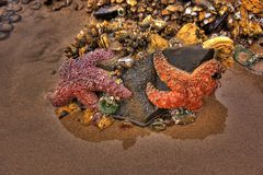 Starfish on Cannon Beach Oregon Royalty Free Stock Photos