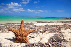 Starfish on caribbean beach Royalty Free Stock Images