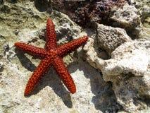 Starfish on the Caribbean rocks Stock Photos