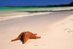 Starfish on caribbean sea Stock Image