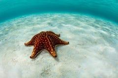 Starfish and Caribbean Sea royalty free stock photography