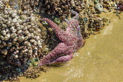 Starfish clinging to rocks on the beach Royalty Free Stock Photo