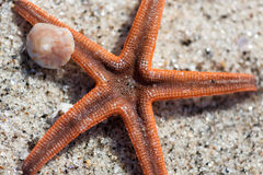 Starfish Close Up Royalty Free Stock Photos