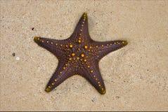 Starfish coastline in the  of zanzibar tanzania Royalty Free Stock Images