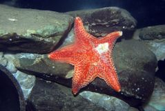 Starfish comuns. Foto de Stock Royalty Free