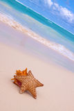 Starfish and Conch Shell  . Royalty Free Stock Photo