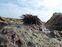 The starfish, contemplating it in its natural habitat caldera beach / venezuela royalty free stock photo
