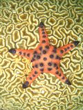 Starfish on coral Stock Photos