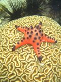 Starfish on Coral Royalty Free Stock Images