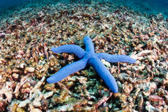 Starfish on a dead coral reef Stock Photos