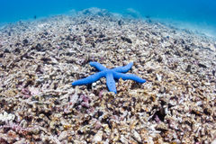 Starfish on a dead coral reef Stock Photography