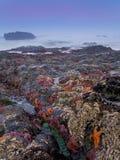 Starfish in der Dämmerung, Oregon-Küste Lizenzfreies Stockfoto