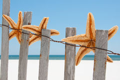 Starfish drying on fence Royalty Free Stock Image