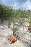 Starfish dune stock photos