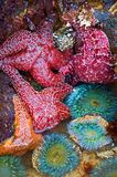 Starfish e Anemones de mar foto de stock royalty free