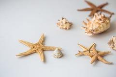 Starfish e escudos na parte traseira do branco Starfish e escudos na parte traseira do branco Fotografia de Stock Royalty Free