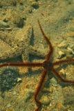 Starfish e lírio de mar fotografia de stock royalty free