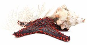 Starfish, escudo e corais Foto de Stock