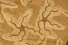 Starfish fósseis imagens de stock