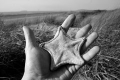 Starfish find. A hand holding a starfish amongst the sand dunes at Berrow beach in Somerset Royalty Free Stock Photo