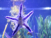 Starfish on fishbowl. With blue background Royalty Free Stock Image