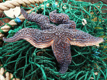 A starfish on a fishing net Royalty Free Stock Photography