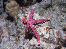 Starfish Gomophia egyptiaca Gray sea star on a cor Stock Photography