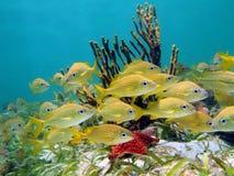 starfish grunt рыб французские Стоковые Фотографии RF