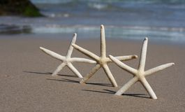 Starfish hatrick. Three starfish upright on deserted idyllic beach, with the ocean and beautiful blue sky in the background stock photo