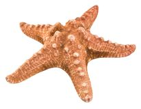 Starfish isolated on white background with clipping path Royalty Free Stock Photo