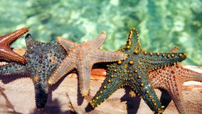 Starfish in the lagoon on the southern beach on the ocean. Marin. Starfish in the lagoon on the southern beach on the ocean Royalty Free Stock Photo