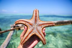 Starfish in the lagoon on the southern beach on the ocean. Marin. Starfish in the lagoon on the southern beach on the ocean Stock Images