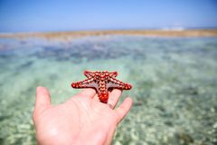 Starfish in the lagoon on the southern beach on the ocean. Marin. Starfish in the lagoon on the southern beach on the ocean Stock Image