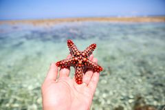 Starfish in the lagoon on the southern beach on the ocean. Marin. Starfish in the lagoon on the southern beach on the ocean Royalty Free Stock Photography