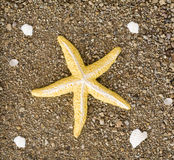 Starfish laying on sand with shells Royalty Free Stock Images