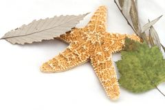 Starfish and Leaves. Starfish from the ocean on white background with leaves stock images