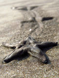 Starfish Legacy Royalty Free Stock Photography