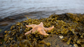 Starfish Stock Images