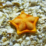 A starfish lying on shells in the Istanbul aquarium. Stock Images