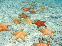 Starfish march. Starfish of various colors and patterns on ocean floor Royalty Free Stock Images