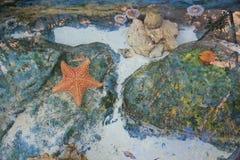 Starfish in Mexiko an budifull pic Lizenzfreie Stockfotos