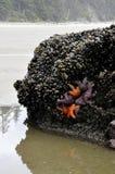 Starfish mit Miesmuscheln Lizenzfreie Stockfotos